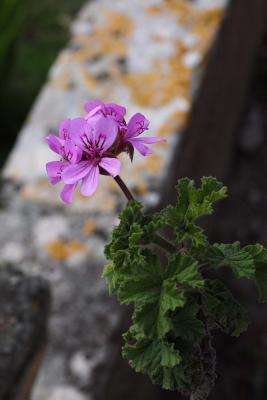 Freshly Blooming Ger...