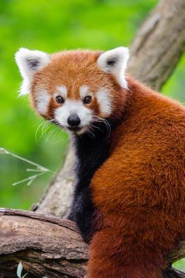 Adorable Red Panda Journal