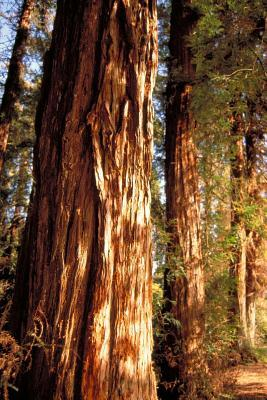 View of Bark on Redwood Trees in Balboa Park San Diego California USA Journal
