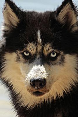 Siberian Husky Dog Portrait Journal