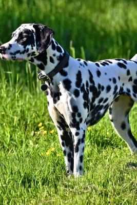 Dalmation Dog on the Hunt in the Grass Journal