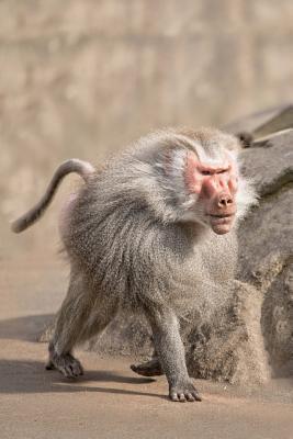 Baboon Monkey Journa...