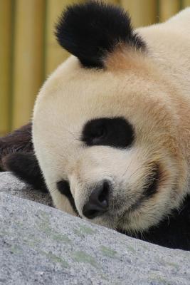 Napping Panda Journal