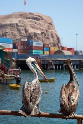 Two Peruvian Pelican...