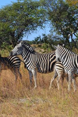 Wild Zebras in Zimbabwe, Africa Journal