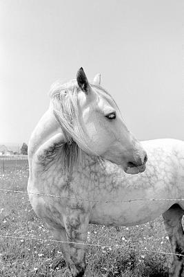 Equine Journal Dappled Grey at Pasture