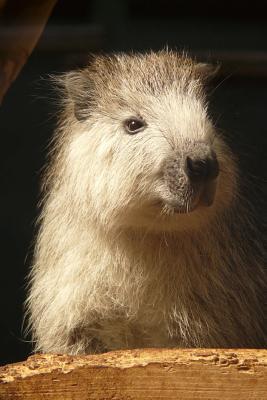 Hutia Conga Tree Rat Animal Lined Journal