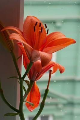 Awesome Lily in the ...