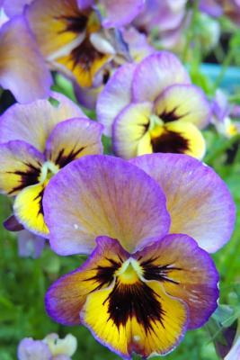 Purple and Yellow Pansy Flower Journal