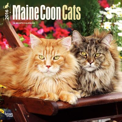 Maine Coon Cats 2016...