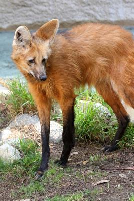 Maned Wolf Lined Journal