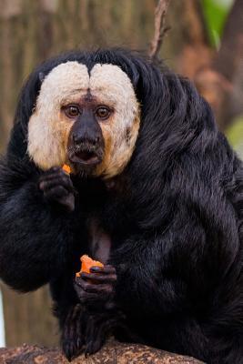 Amusing White Face Saki Monkey Will Not Share Primate Journal