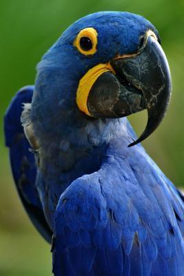 Blue Hyacinth Macaw Anodorhynchus Hyacinthinus Bird Journal