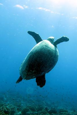 Swimming Sea Turtle ...