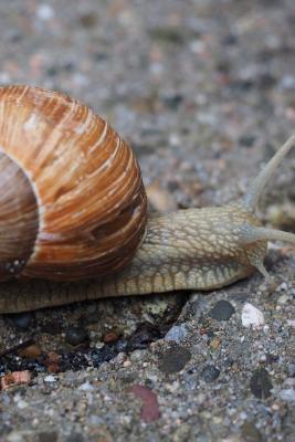 Snail Crawling Acros...