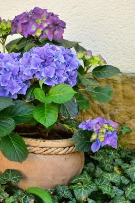 Hydrangeas in a Flower Pot and Ivy Journal