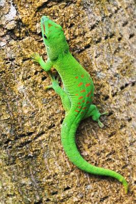 An Adorable Green Madagascar Gecko on a Palm Tree Journal