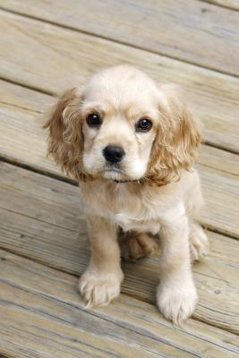 A Little Blonde Cocker Spaniel Puppy Dog Lined Journal