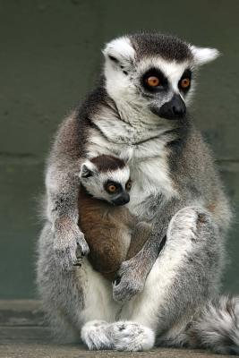 A Mother Ring-tail Lemur and Her Sweet Baby Journal