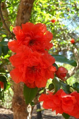 Pomegranate Blossoms Flower Journal