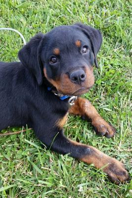 So Cute Rottweiler P...