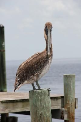 Pelican on a Pier Journal