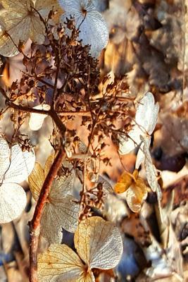 Dried Up Hydrangea Blooms Journal