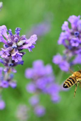Lavender and a Bee i...