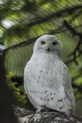 Beautiful Snowy Owl ...