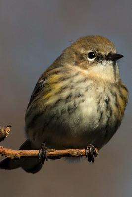 Yellow-Rumped Warbler (Dendroica Coronata) Bird Journal