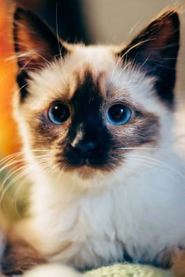 Blue Eyed Siamese Ki...