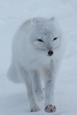 Polar Fox Journal