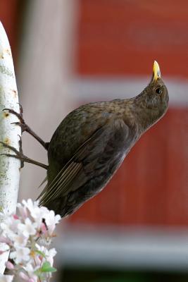 Perched Female Blackbird Journal
