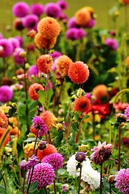 A Field of Dahlia Flowers Journal