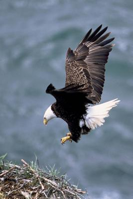 Eagle Getting Ready to Land Bird Journal