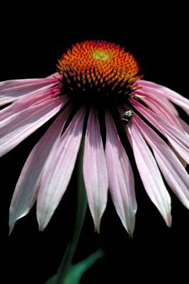 Pink Coneflower Journal