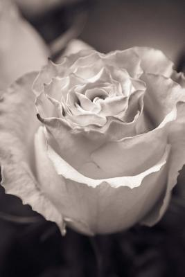 Beautiful White Wedding Love Rose