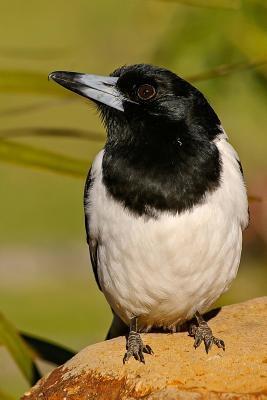 Australian Butcherbird Journal