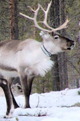 Adult Reindeer in the Snow Lapland Journal