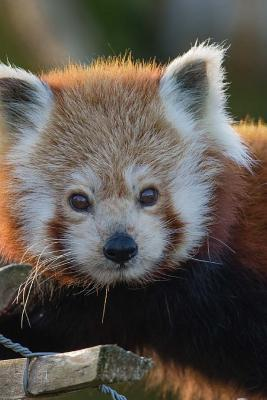 Mind Blowing Cute Attentive Red Panda 150 Page Lined Journal