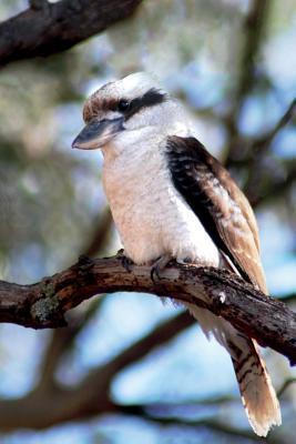 Kookaburra Bird Journal