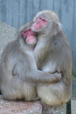 Red Faced Macaques Animal Journal