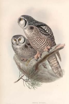 Hawk Owl, John Gould Birds of Great Britain