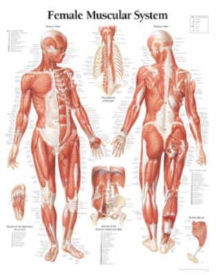 Female Muscular Syst...