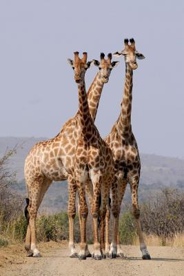 A Trio of Giraffes Journal