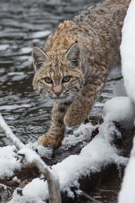 Bobcat on the Prowl Journal