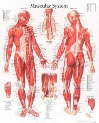 Muscular System, Mal...