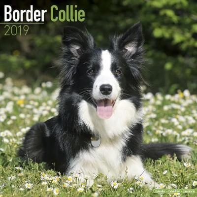 Border Collie Calendar 2019 (Square)