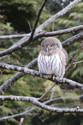 Pygmy Owl Perched in a Tree Journal
