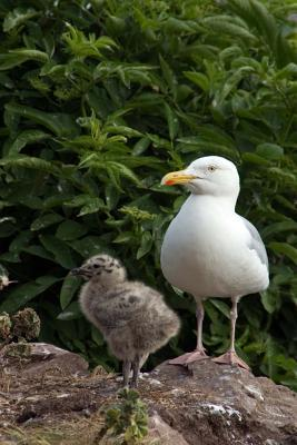 Herring Gull Mother ...